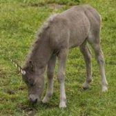 First Unicorn Foal in the UK