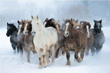 Horse-Herd
